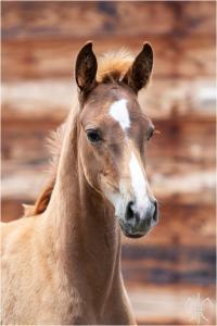 Photo cheval a vendre ALPHA DE LA GESSE